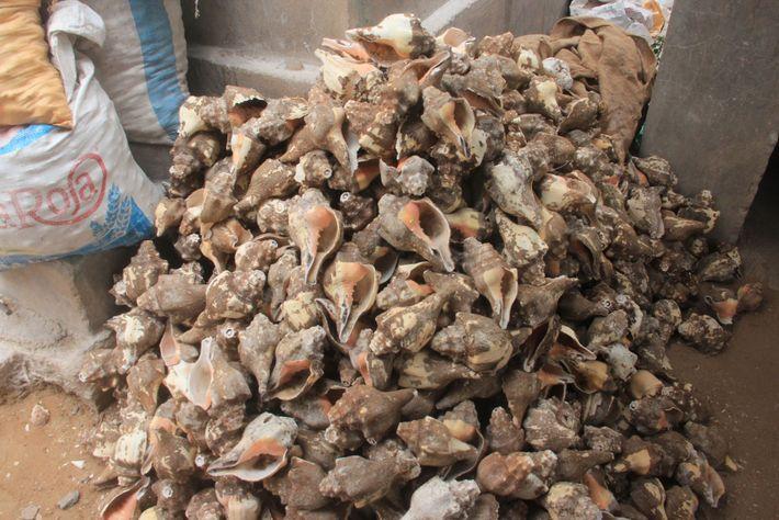 Ces coquillages ont été amenés dans cette usine située en Inde pour être nettoyés, séchés et ...