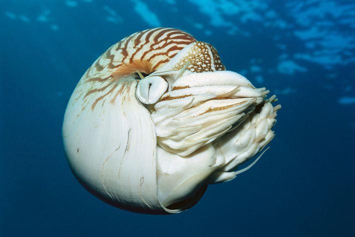 Le coquillage du nautile est très prisé pour la fabrication de bijoux et la décoration d'intérieur. ...
