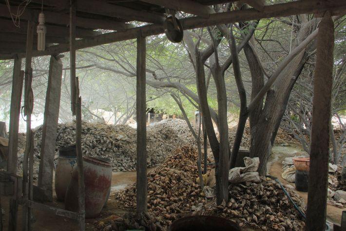 Dans cette usine de Kânyâkumârî, une ville du sud de l'Inde, des tas de coquillages attendent ...