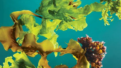 Les forêts d'algues, un outil efficace contre le changement climatique