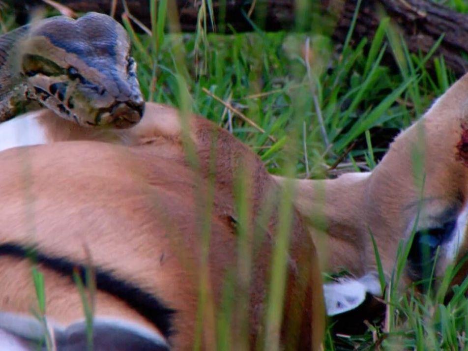 Un python de Seba capture un jeune impala
