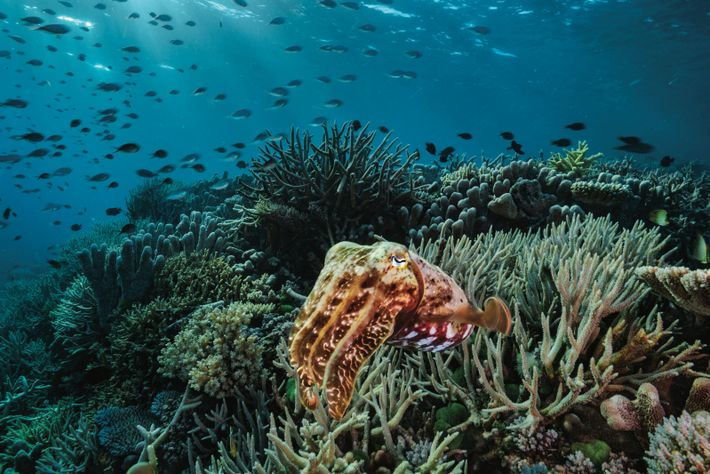 Une seiche inspecte une zone de la Grande Barrière de corail qui a survécu au stress ...