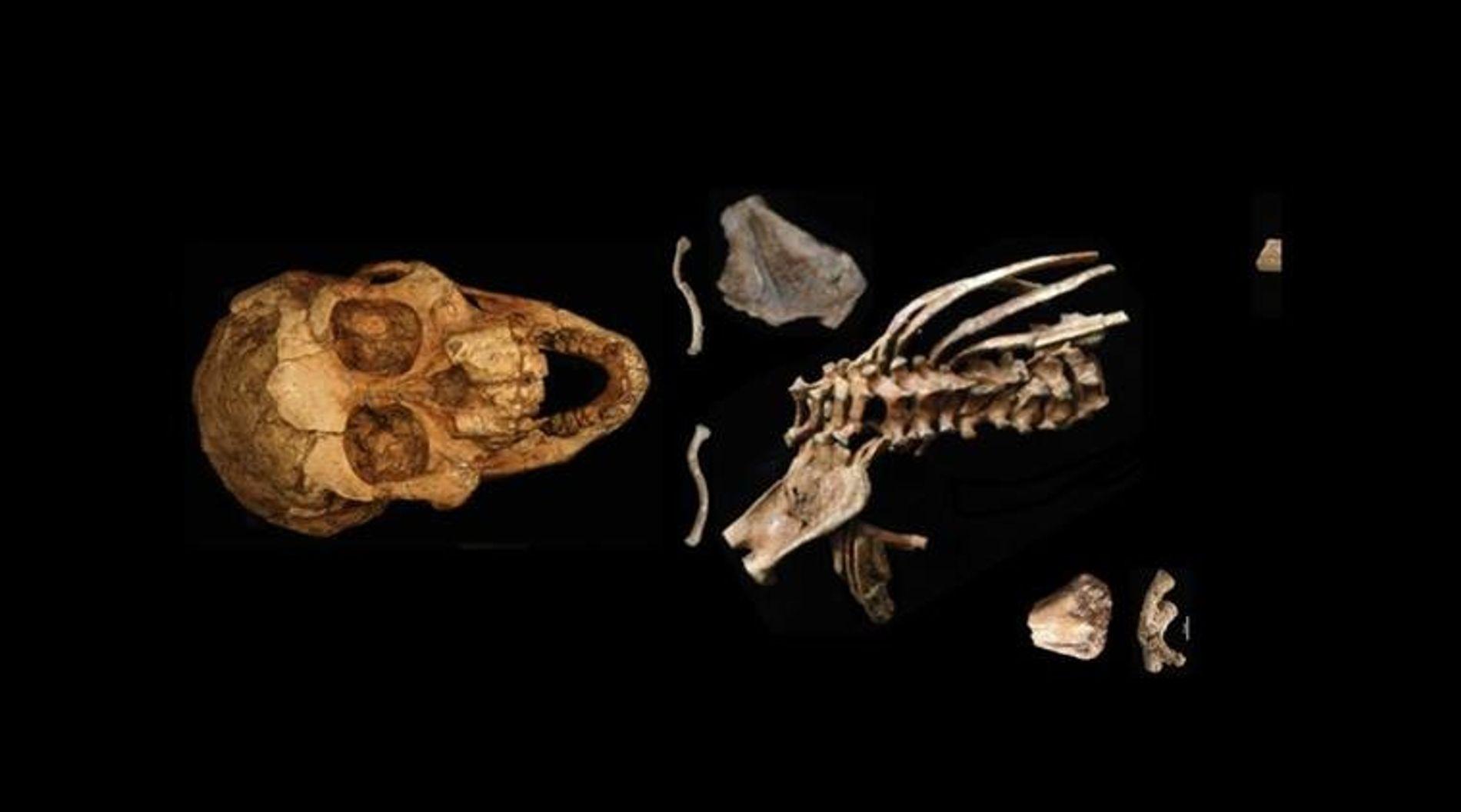 Le spécimen 'Selam' est le premier à apporter la preuve que, comme les Hommes modernes, nos ...