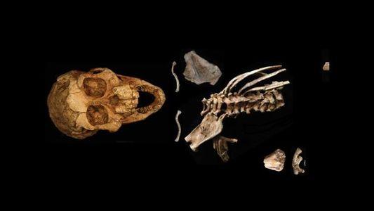 Comment les premiers Hommes se déplaçaient-ils ? Réponse avec le plus vieux fossile d'enfant au monde
