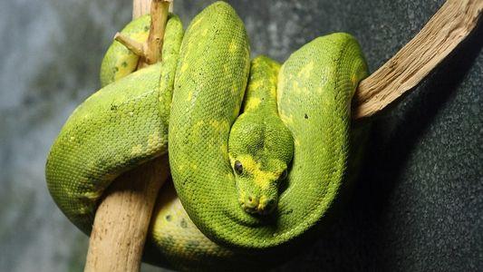 Comment savoir ce que ressent un serpent ? Regardez sa langue