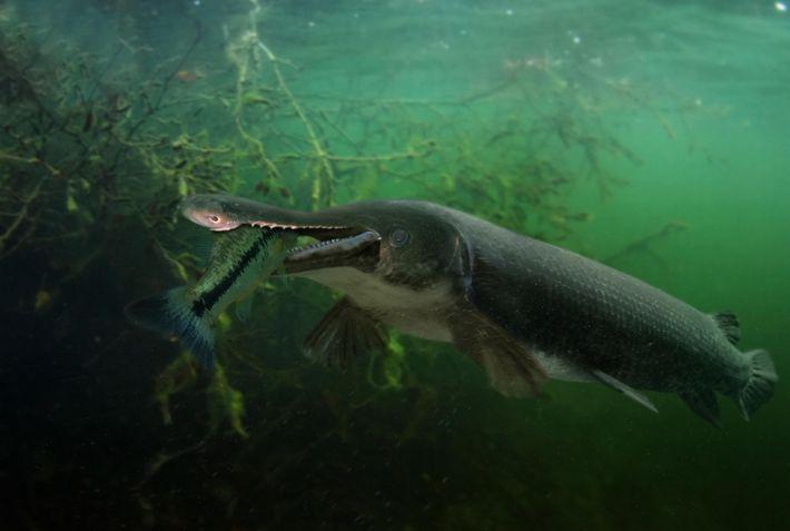 Un garpique alligator dévore une perche noire. Cette espèce est l'un des plus grands poissons d'eau ...
