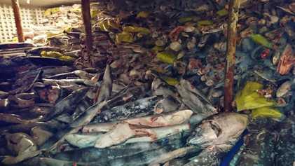 Des milliers de requins découverts à bord d'un chalutier chinois