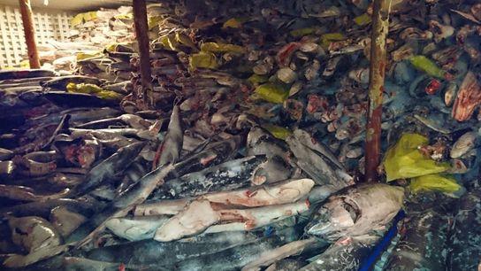 La pêche et le transfert de requins sont illégaux au sein de la réserve. Ce dimanche, ...