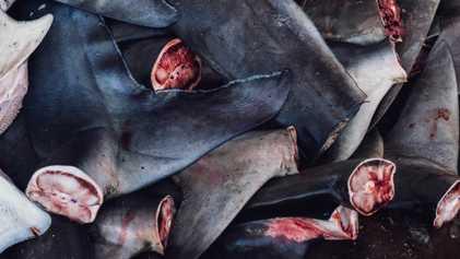 Le commerce d'ailerons de requins serait plus facile à démanteler qu'on ne le pensait