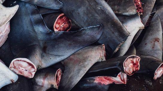 Les queues et les ailerons des requins sont découpés au marché aux poissons de Tanjung Luar.