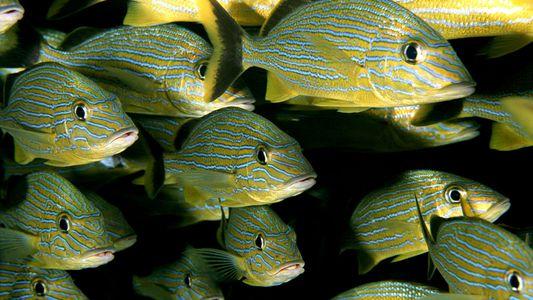Le réchauffement climatique risque de faire rétrécir les poissons