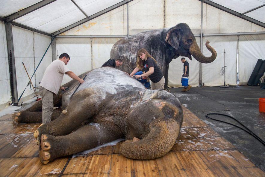 Des éléphants du cirque Ringling prennent leur bain lors d'une pause en 2015. Bien que ces ...