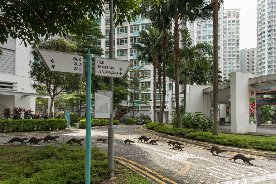 Chaque famille de loutres de Singapour a un nom. Ici, la famille Bishan qui traverse une ...