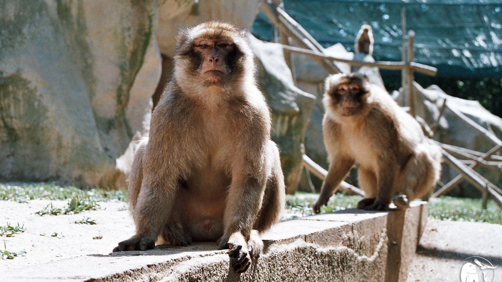 Avant de pouvoir être mis en contact avec leurs congénères, les singes magots, récupérés par le ...