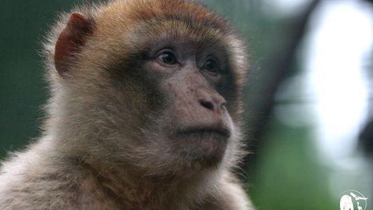 En France, le trafic de singes magots est toujours d'actualité