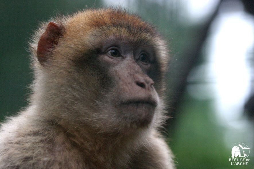 Le refuge de l'arche, en Mayenne, accueille une trentaine de singes magots.