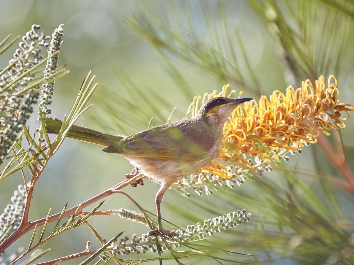 Un méliphage chanteur (Gavicalis virescens) perché en haut d'un grevillea excelsior.