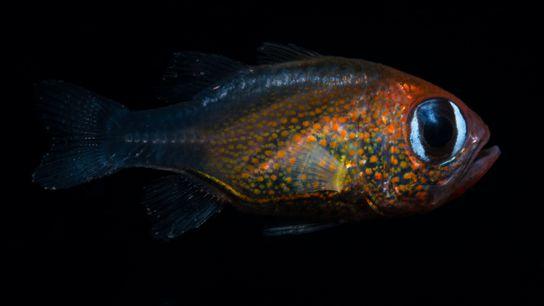 Le poisson-cardinal aux yeux de chat a été découvert en Papouasie-Nouvelle-Guinée.