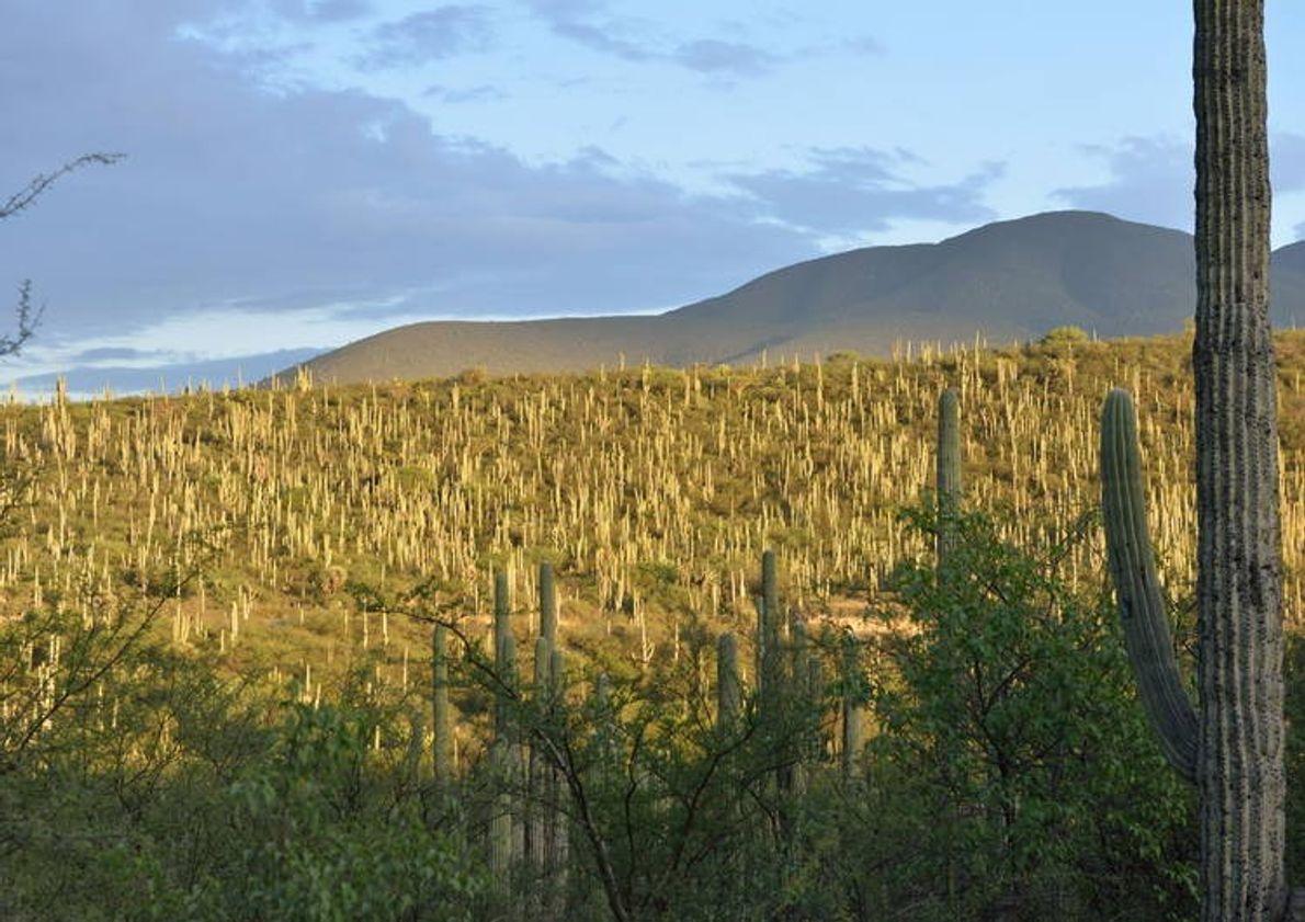 La vallée de Tehuacán-Cuicatlán, qui fait partie de la région méso-américaine, est la zone aride la ...