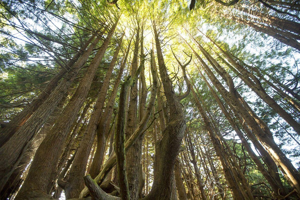 La forêt de Redwood s'étend sur 202 km² sur le littoral californien. Le mélange de séquoias, ...