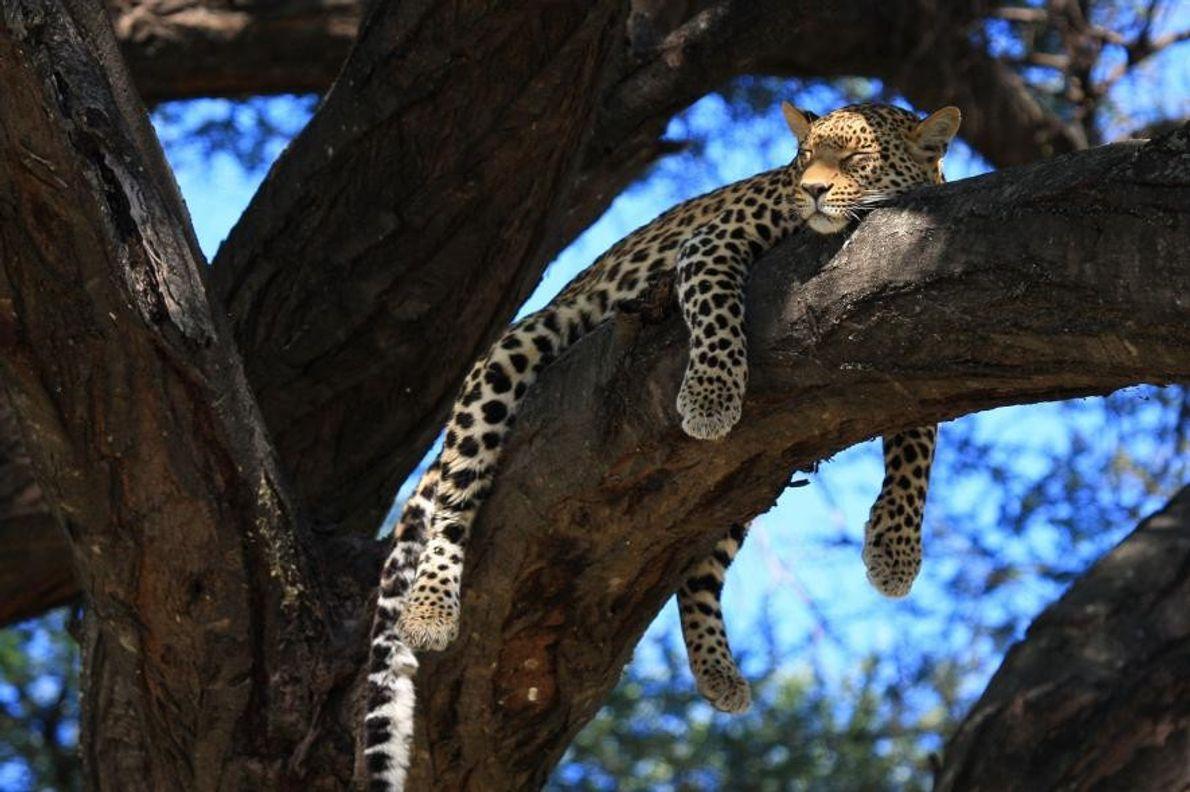 À Mombo, au Botswana, un léopard femelle se prélasse sous les rayons du soleil.