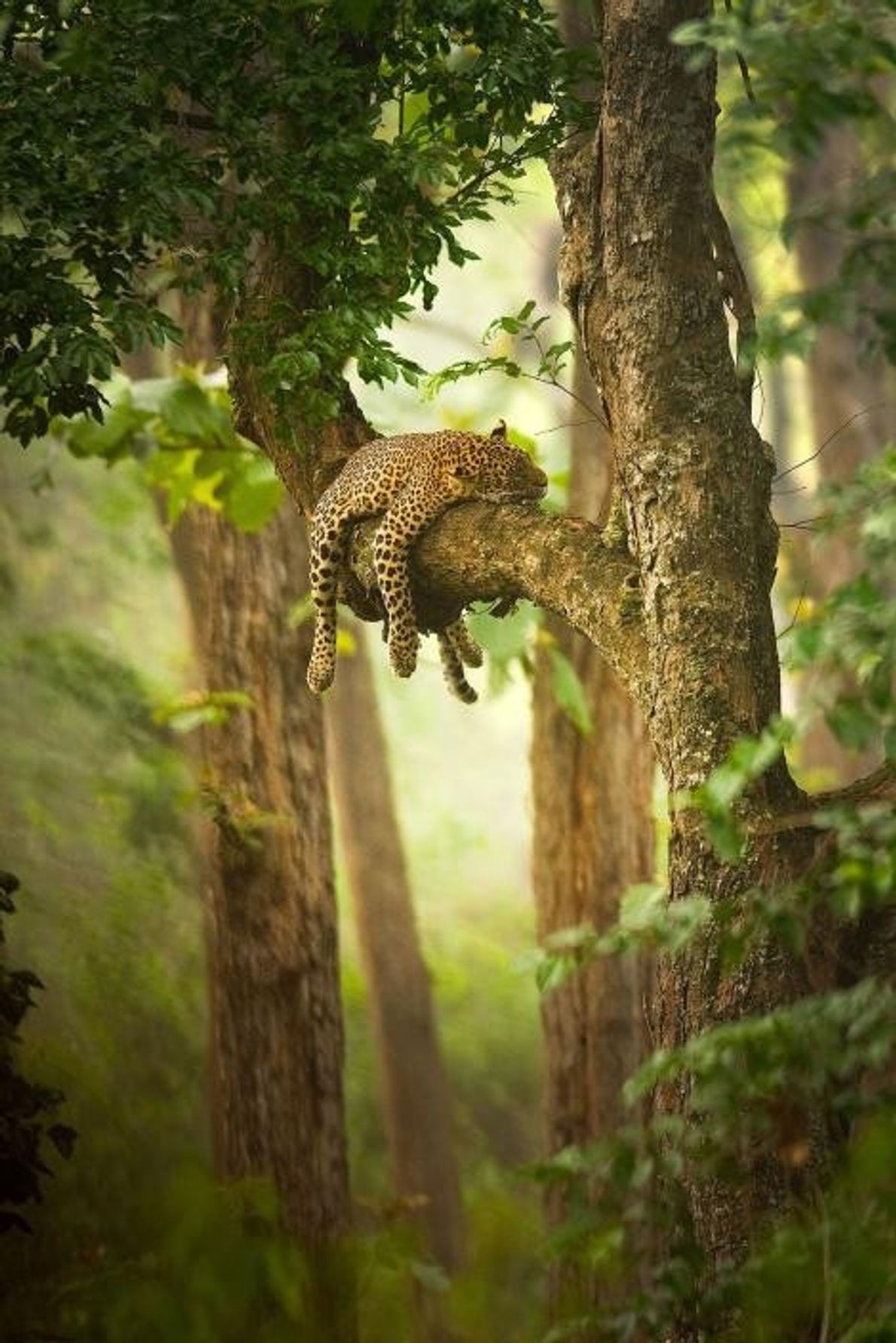 Un léopard endormi s'accroche à sa branche.