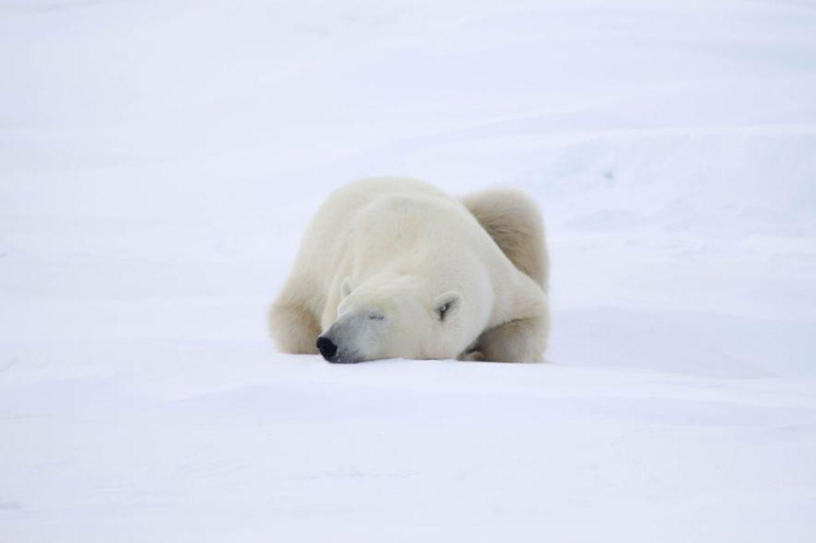 Un ours polaire se repose avant de partir à l'assaut de la banquise.