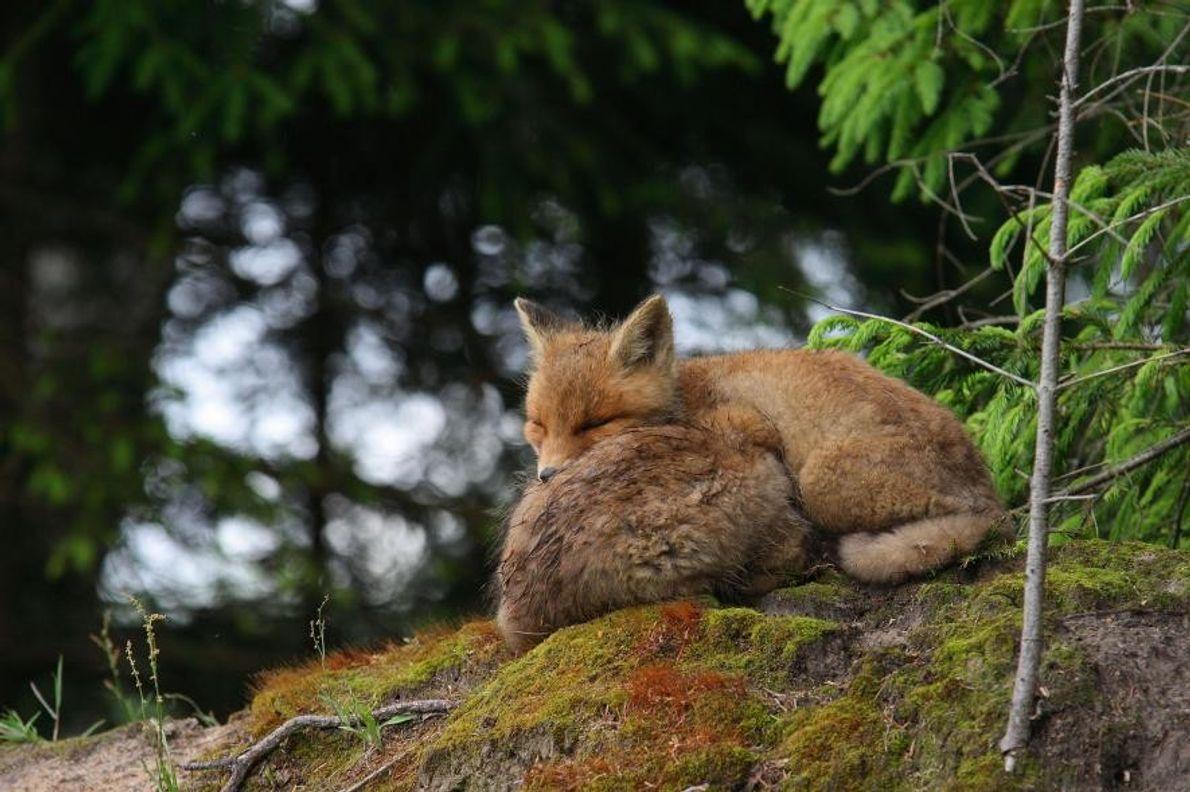 Un couple de renards roux se repose.