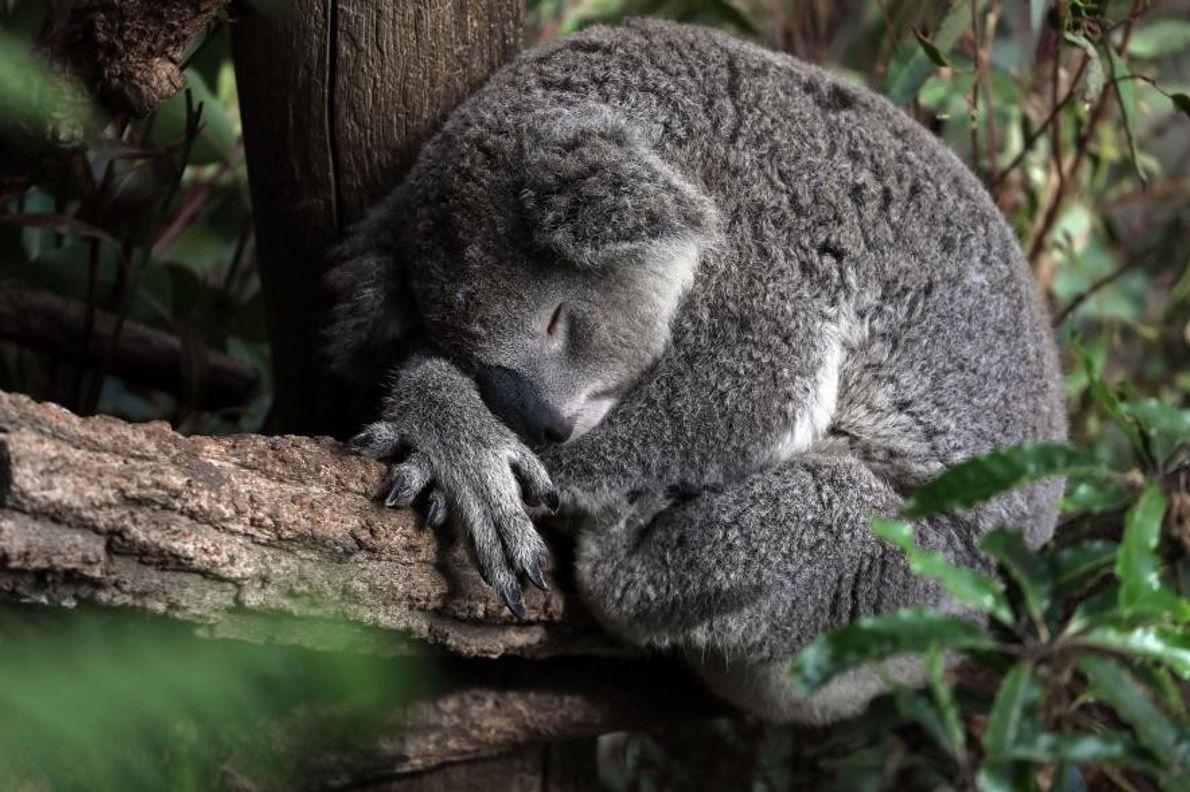 En Nouvelle-Galles du Sud, en Australie, un koala roupille dans un arbre.
