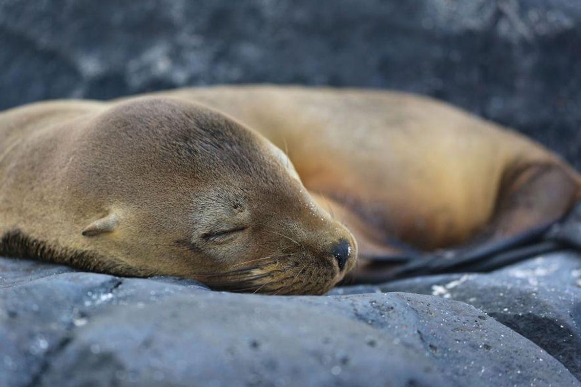 « Un phoque endormi des plus attendrissants », décrit Vladimir Snegov, photographe de la communauté Your ...