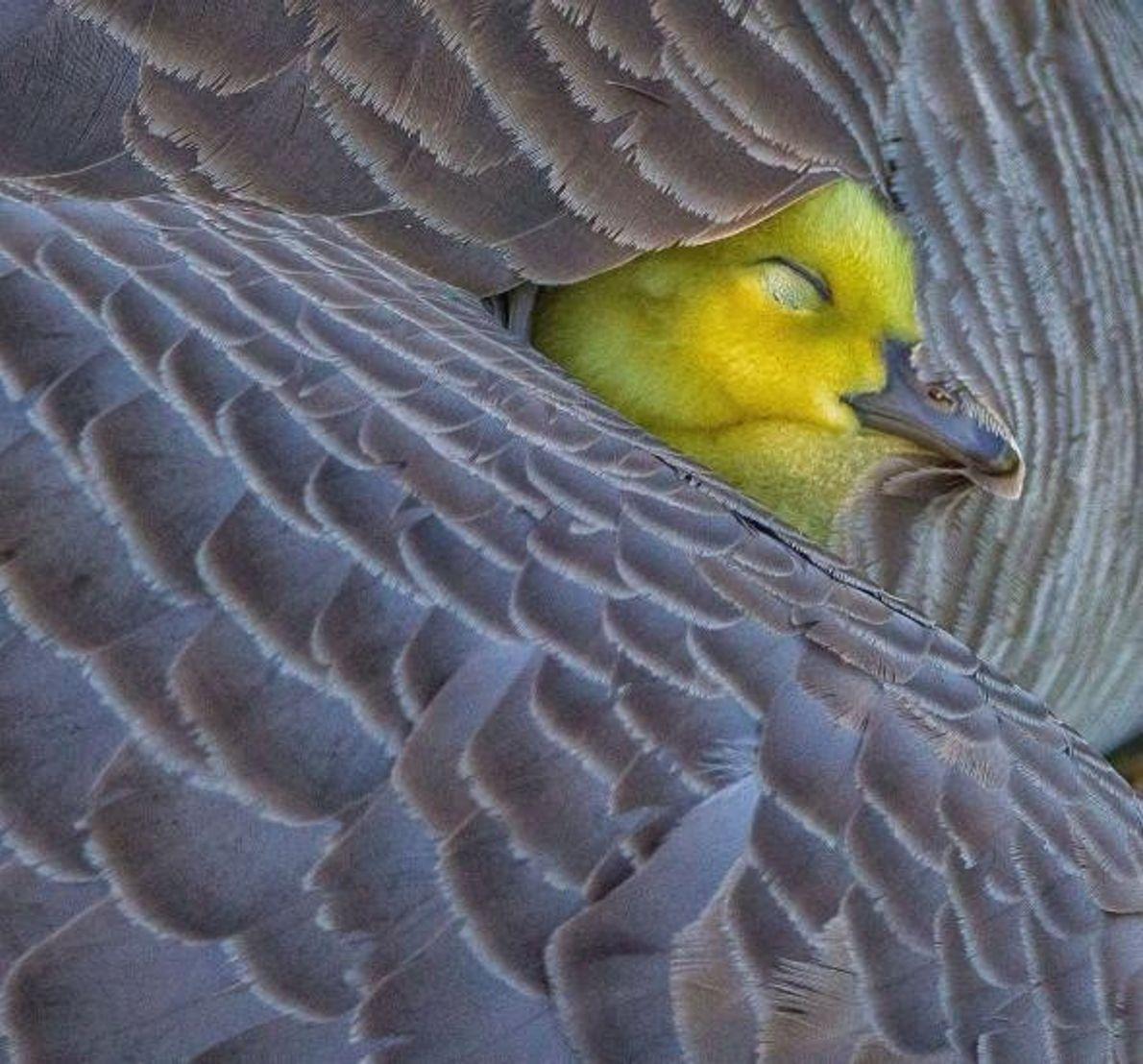 Un oison niche sous l'aile de sa mère, le long du rivage d'un étang dans l'Alberta, ...