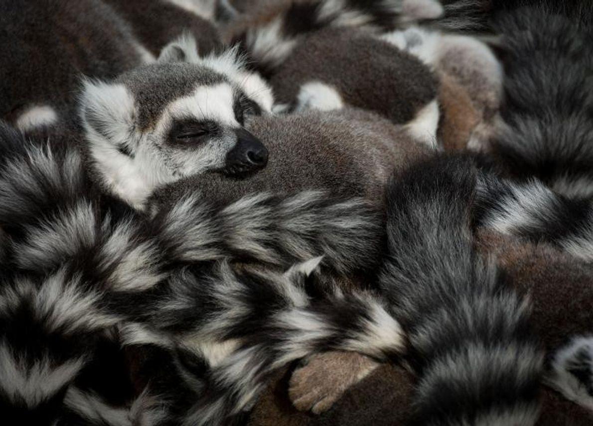 Des lémuriens font la sieste.