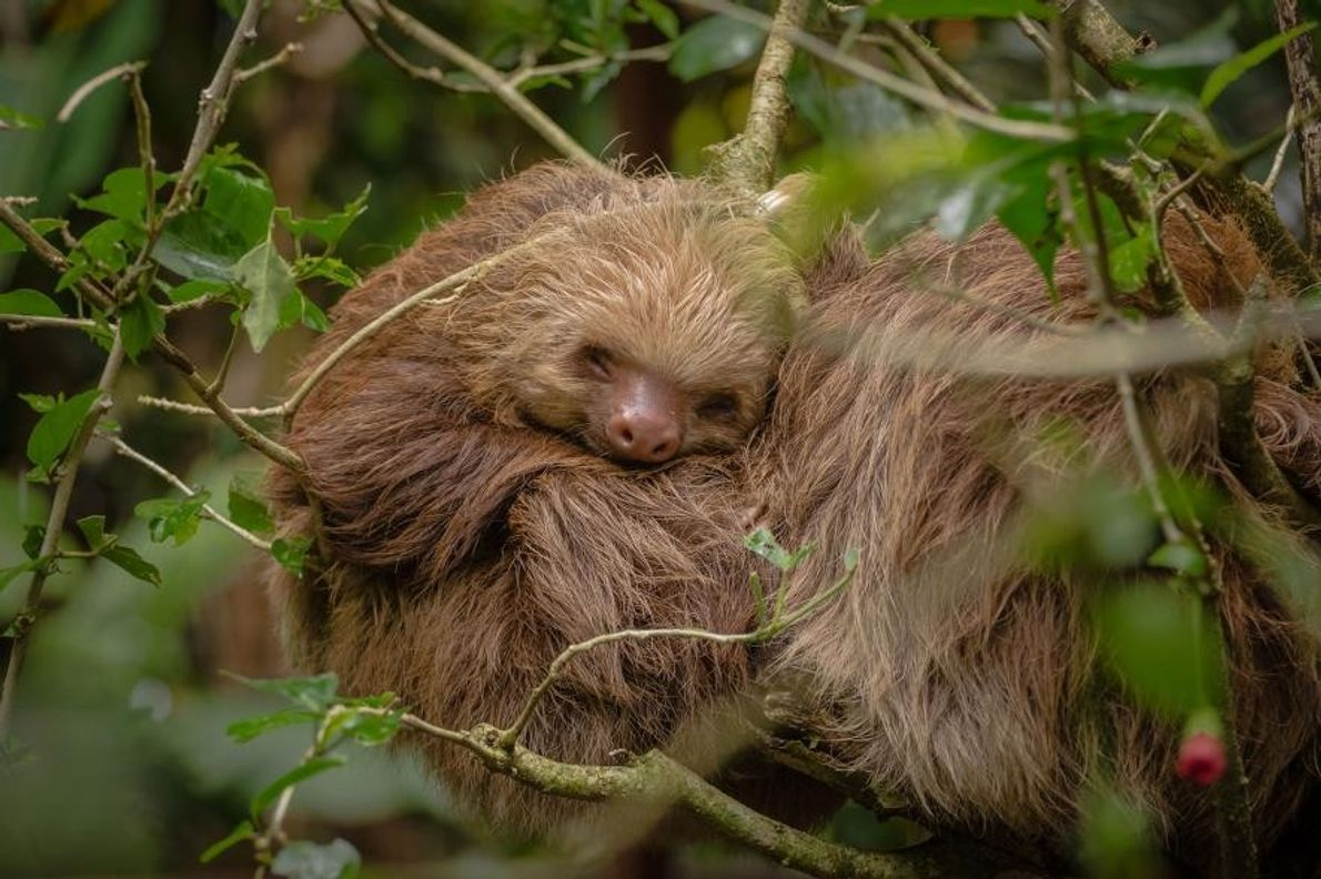 Au Jaguar Rescue Center, un refuge pour animaux sauvages au Costa Rica, un paresseux orphelin fait ...
