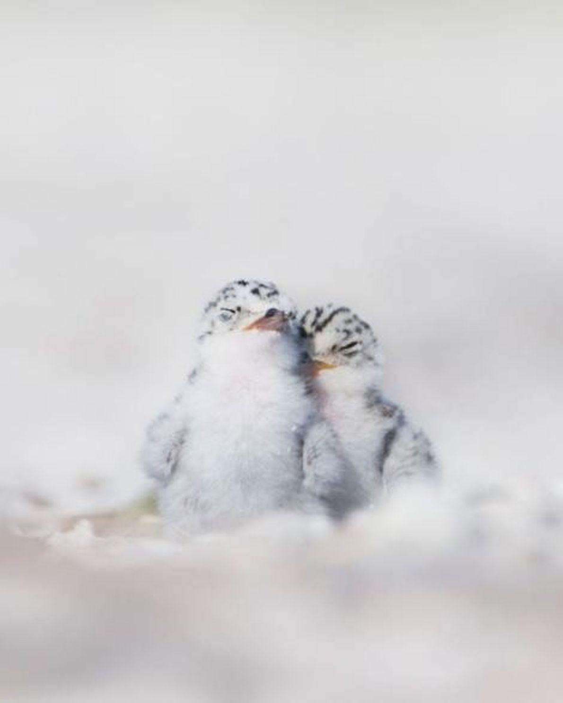 Un couple d'oisillons de sternes roupille sur la plage, dans le parc d'État Stump Pass, en ...