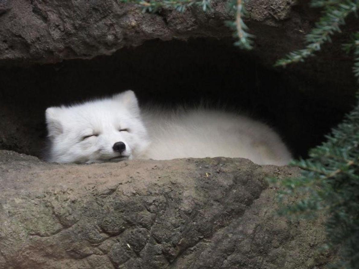 Un renard arctique sommeille dans sa tanière.