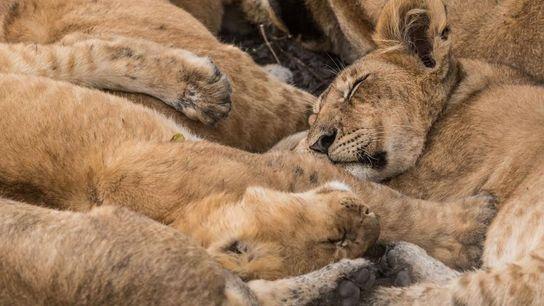 Dans la réserve nationale du Masai Mara au Kenya, une troupe de lions somnole.