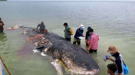 Un cachalot retrouvé mort, le ventre rempli de déchets plastiques