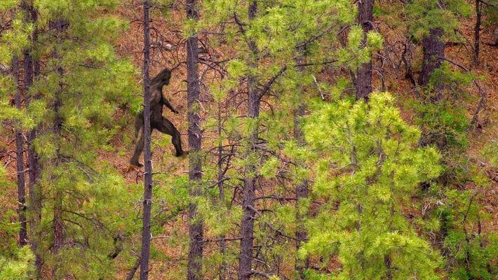 Si l'on tient compte des dimensions de la créature appelée Bigfoot, le gigantopithèque demeure une hypothèse ...