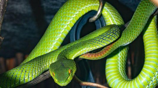 Oui, le venin de serpents ou de mygales peut sauver des vies
