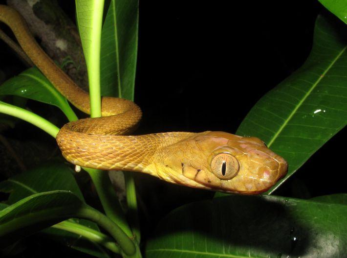 C'est probablement aux navires-cargos que l'on doit l'introduction du serpent brun arboricole sur l'île de Guam ...
