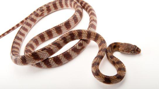 Le serpent brun arboricole peut atteindre les 3 m de longueur. Ci-dessus un spécimen du zoo ...