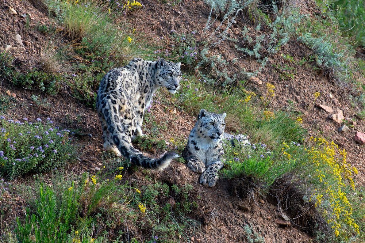 17a66b6d55694 Kirghizistan   un sanctuaire pour sauver le léopard des neiges ...