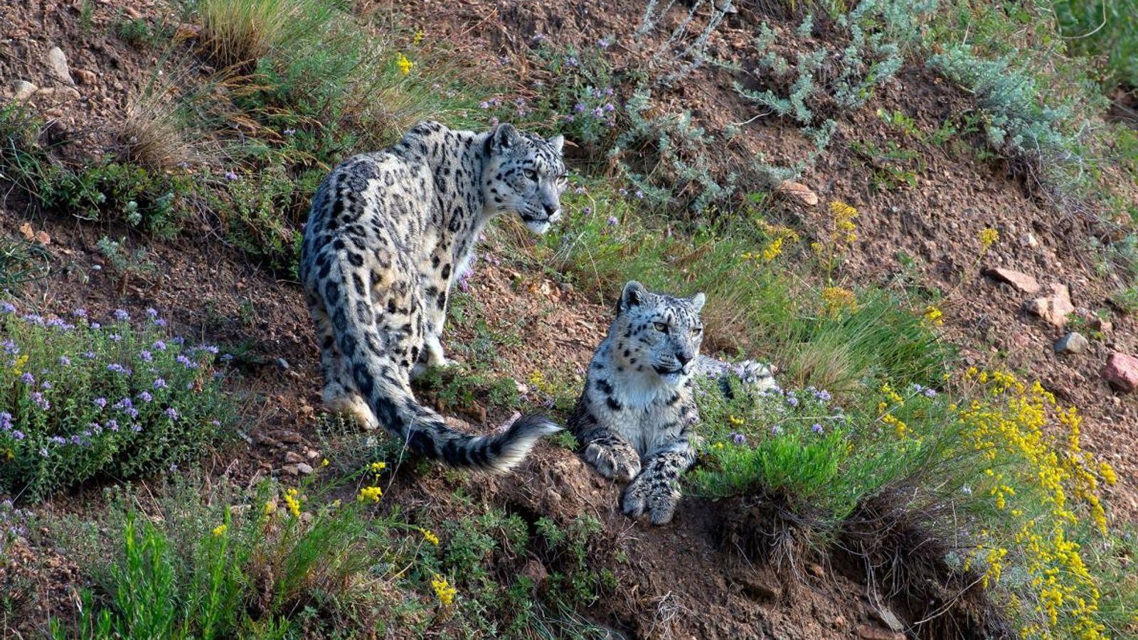 La sauvegarde des léopards des neiges du Kirghizistan est une priorité pour l'espèce. En mars, le ...