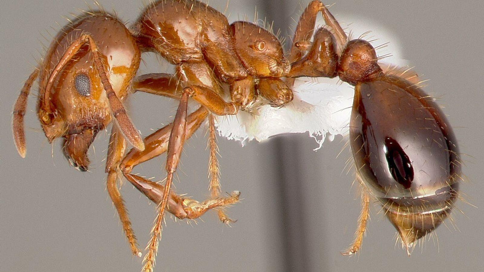 Solenopsis invicta, plus communément appelée fourmi de feu.