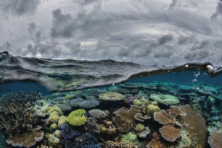 Sous la surface d'une mer agitée, au large des Palaos, vivent des coraux vigoureux et variés. ...