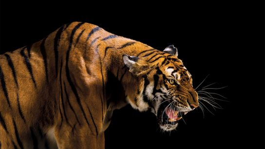 No trace of the wild South China tiger,  Panthera tigris amoyensis (critically endangered, possibly extinct in ...