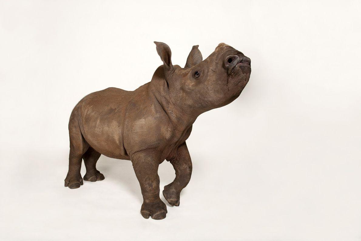 Rhinocéros blanc du Sud