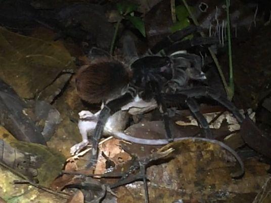En images : une tarentule géante dévore un opossum