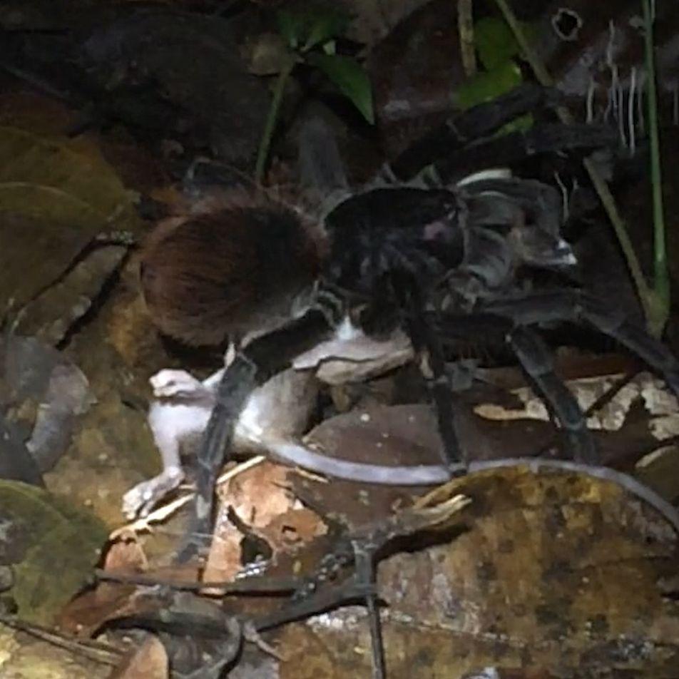 Une tarentule géante dévore un opossum