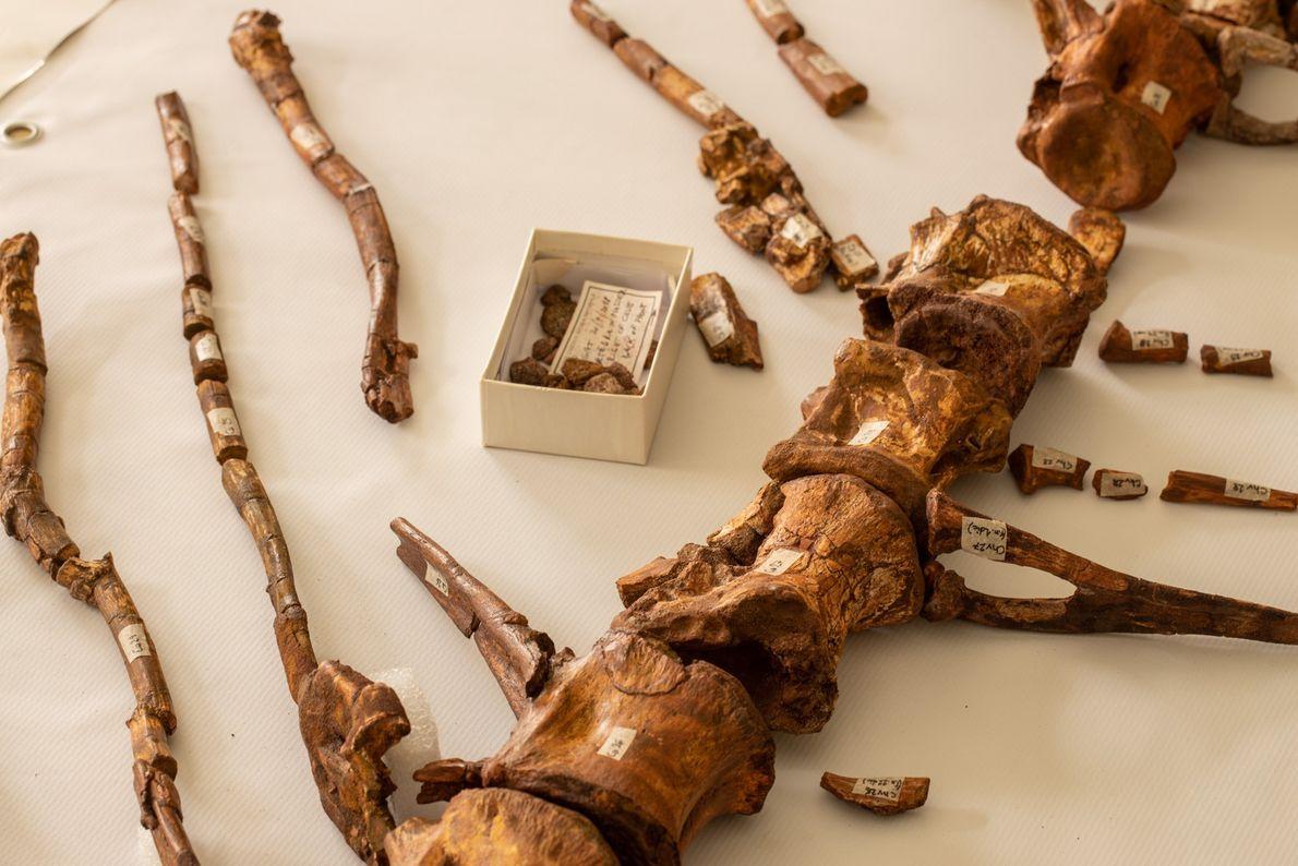 De longs os font saillie des vertèbres de la queue du Spinosaurus. Les projections les plus récentes ...